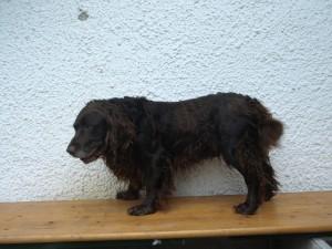 Hannes von der Gundelrebe Wachtelhund